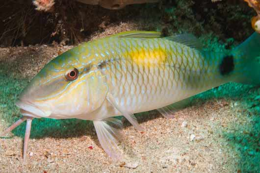 Yellowspot Goatfish, Parupeneus indicus