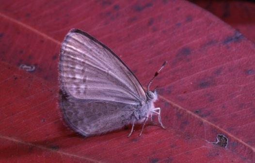 Common Grass Blue, Zizina labradus