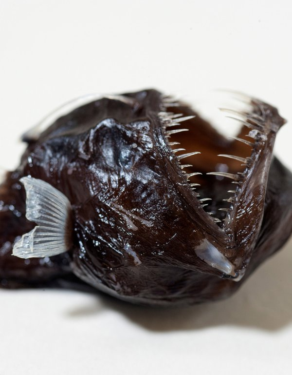 Angler fish in the Ichthyology collection