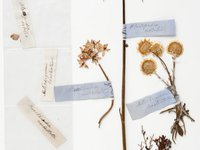 Christmas Bells, Milkmaid, Everlasting Daisy and Tea-Tree specimens