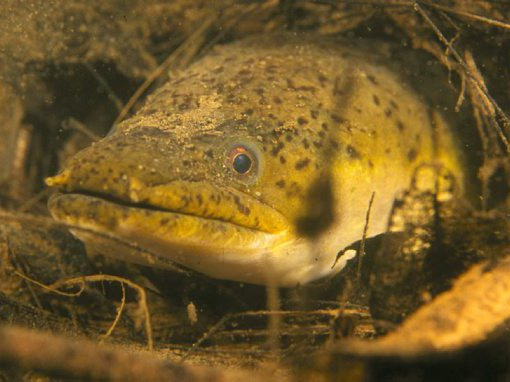 Longfin Eel in Bellinger River
