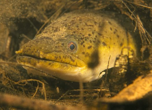 Longfin Eel in Bellinger River