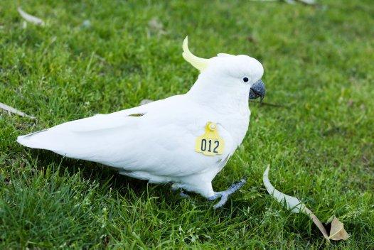 Wingtag Cockatoo