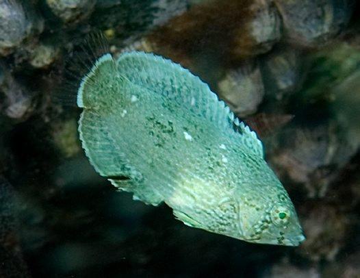 Diamond Wrasse, Anampses caeruleopunctatus