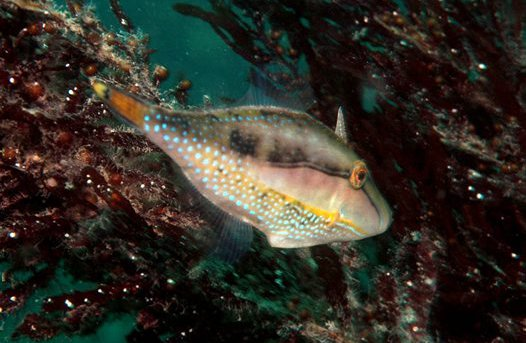 Male Bridled Leatherjacket
