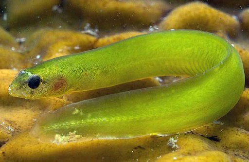 Common Shore Eel, Alabes dorsalis