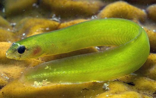 Common Shore Eel, Alabes dorsalis