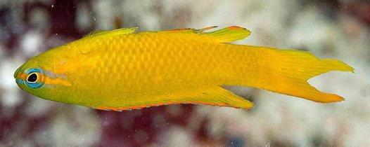 Yellow Scissortail, Assessor flavissimus
