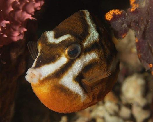 Whitebarred Boxfish, Anoplocapros lenticularis