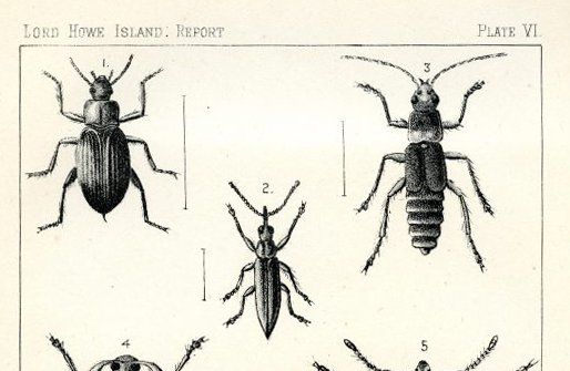 Lord Howe Island beetles