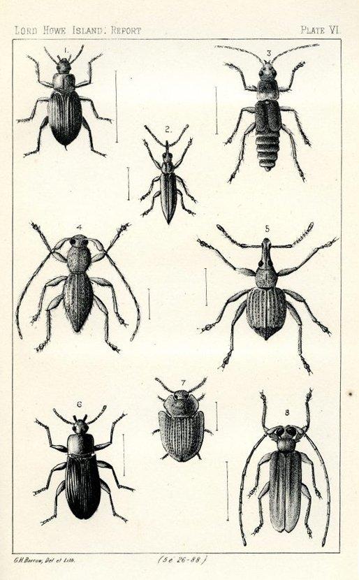 Lord Howe Island beetles
