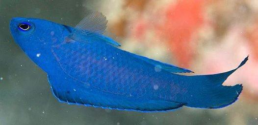 Blue Scissortail, Assessor macneilli
