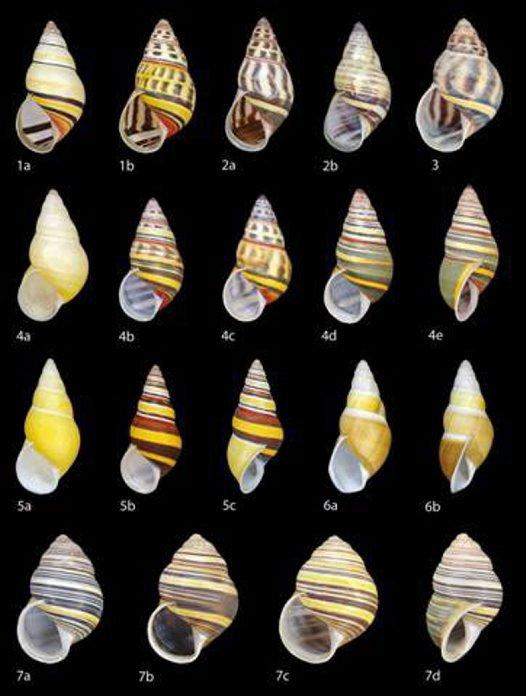 Amphidromus snails from Timor-Leste