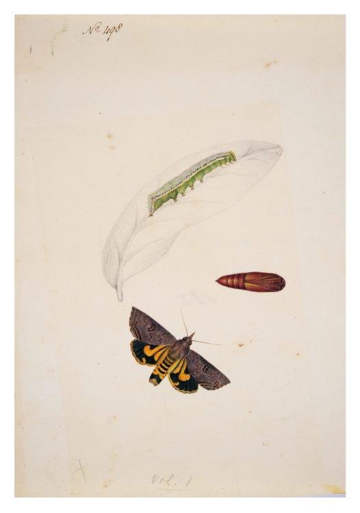 Life cycle sketch of Tryphaena renigera Scott