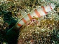 Antitropical Shrimpgoby, Amblyeleotris ogasawarensis