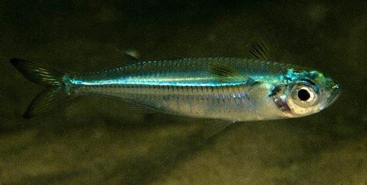 Common Hardyhead, Atherinomorus vaigiensis