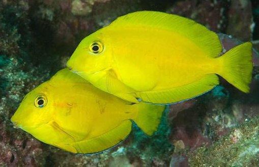 Orangebloch Surgeonfish
