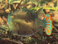 Ornate Cowfish, Aracana ornata