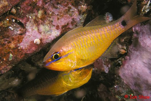 Capricorn Cardinalfish