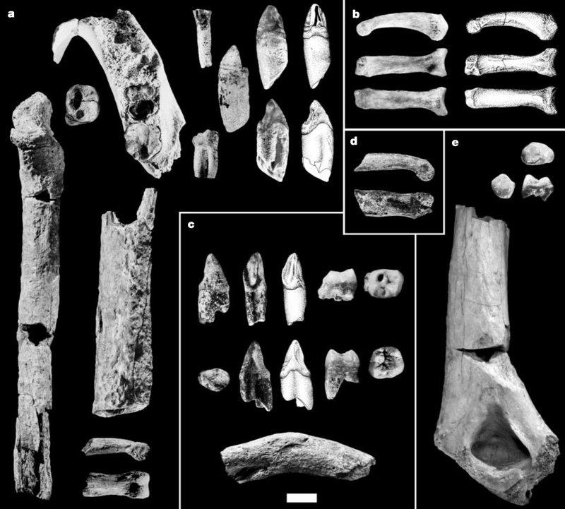 Fossil of Ardipithecus kadabba