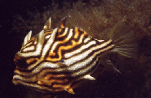 Shaw's Cowfish, Aracana aurita