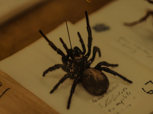 Close-up of a funnel web spider