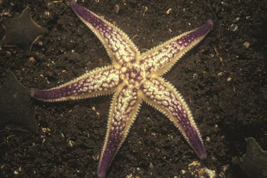 The Northern Pacific Seastar