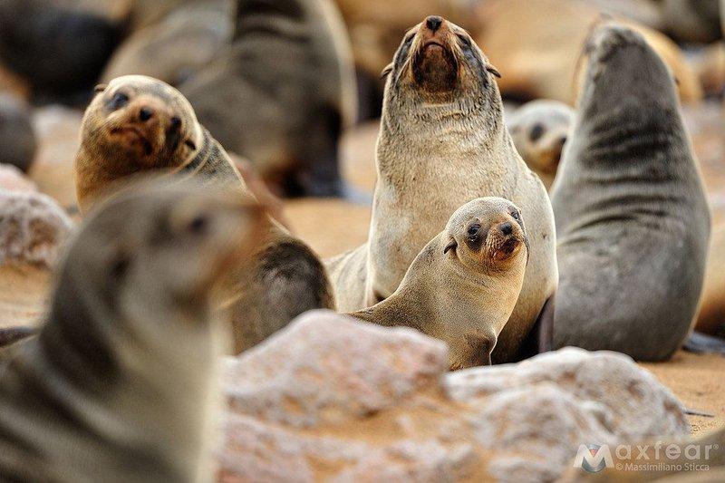 Australian Fur Seal - The Australian Museum