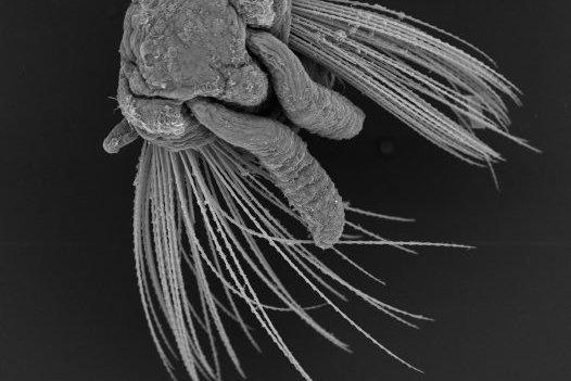 SEM image of Idanthyrsus australiensis