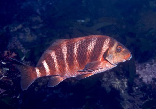 Banded Morwong, Cheilodactylus spectabilis (Hutton, 1872