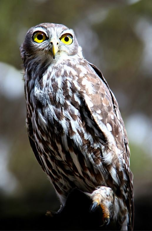 Barking Owl - The Australian Museum