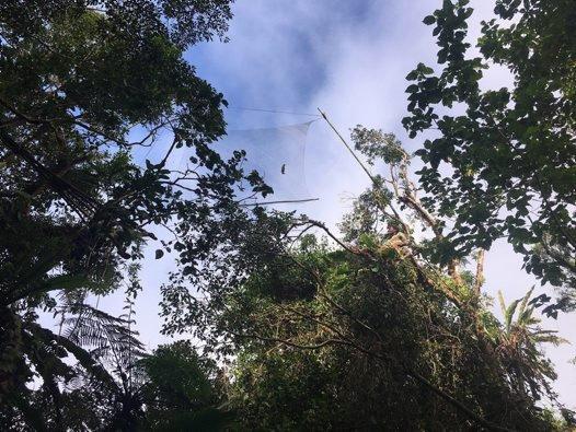 Bat-catching nets in Malaita, Solomon Islands