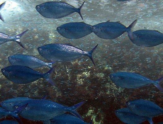 Grey Knifefish, Bathystethus cultratus
