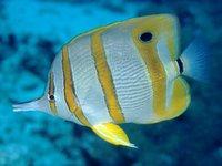 A Beaked Coralfish at Palau Redang