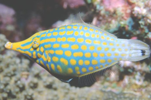 Beaked Leatherjacket