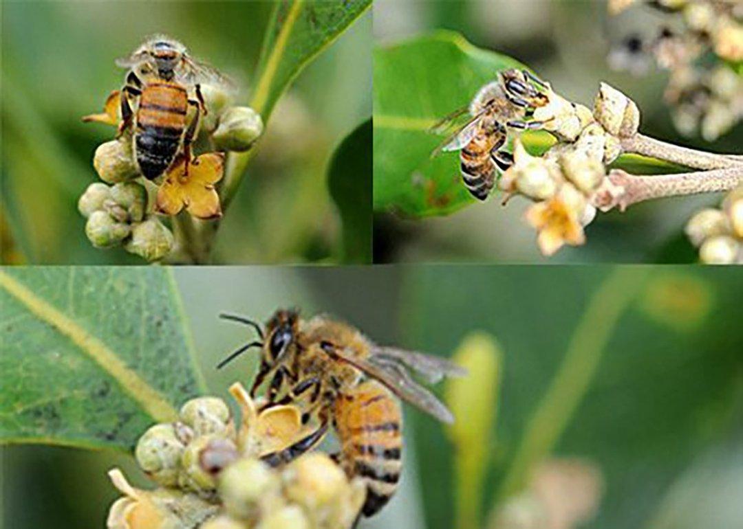 Honey bees visiting mangrove flower