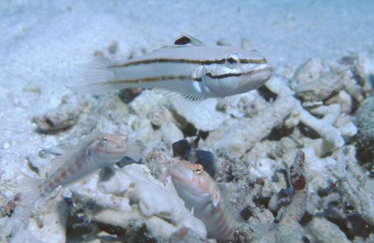 Black-lined Sleeper Goby