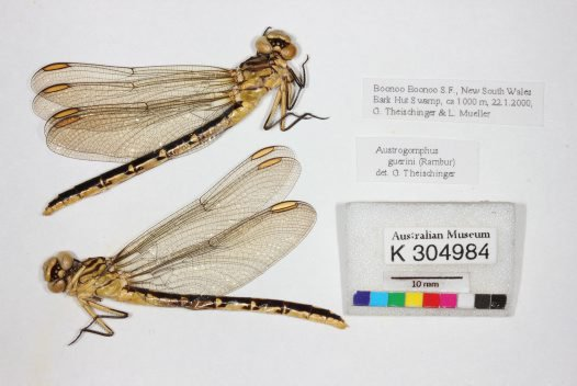 Papered Dragonflies