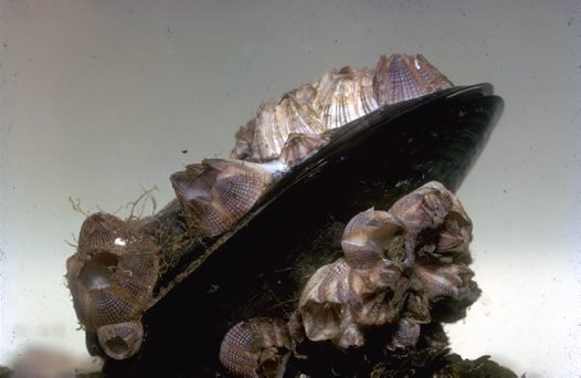 Blue Mussel, Genus Mytilus, on a rock