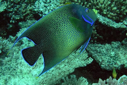 Blue Angelfish