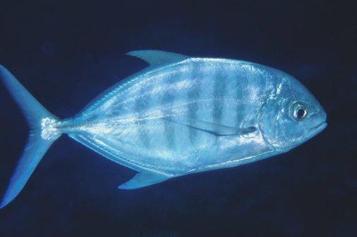 Blue Trevally