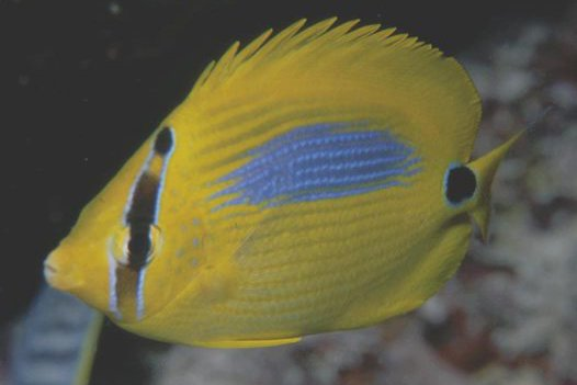 Bluespot Butterflyfish