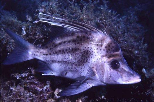 Yellowspotted Boarfish