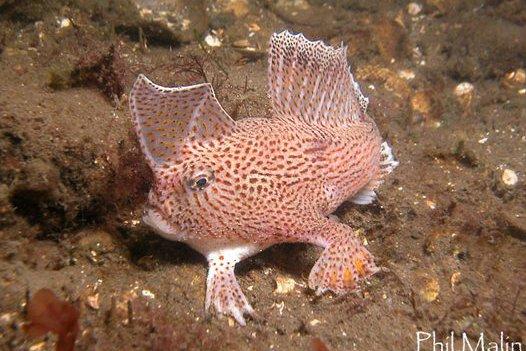 Spotted Handfish, <i>Brachionichthys hirsutus</i>