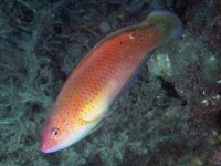 Black-spotted Wrasse