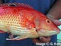 Eastern Pigfish, Bodianus unimaculatus