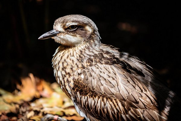 Beach Stone-curlew - The Australian Museum
