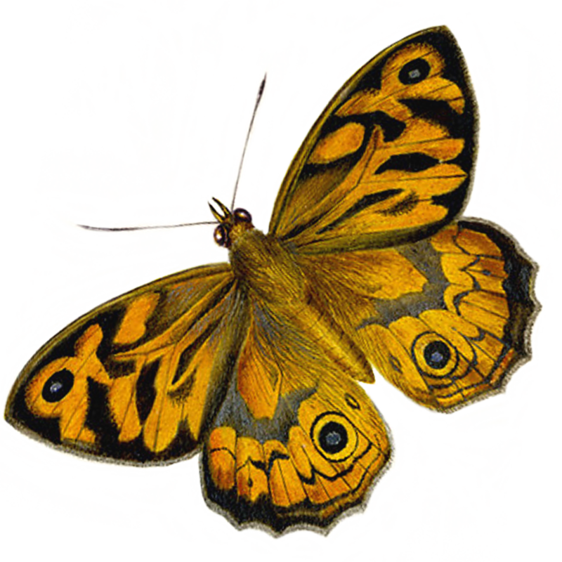 What are the differences between butterflies and moths