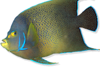 Reef fish