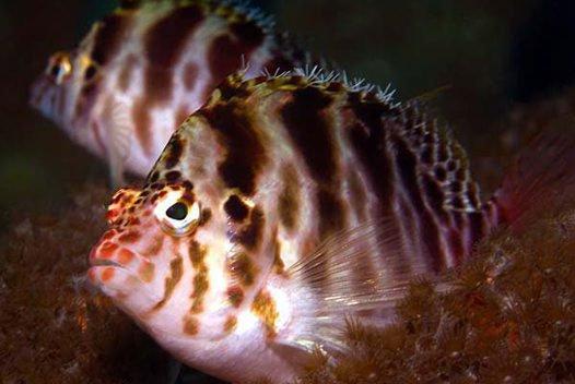 Blotched Hawkfish, Cirrhitichthys aprinus